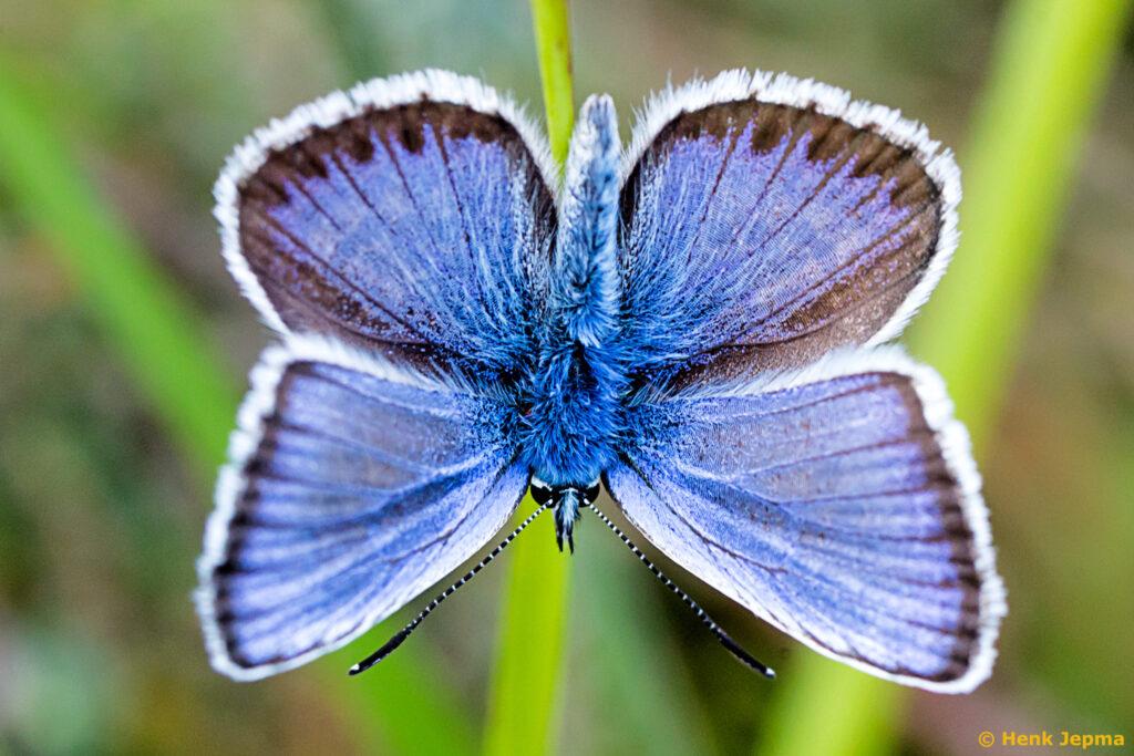Heideblauwtje Boetelerveld