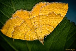 Nachtvlinder gestreepte goudspanner